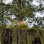 Moos-Apfel