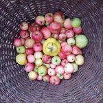 Apfel trifft Quitte